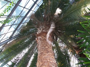 Palmier gradina botanica